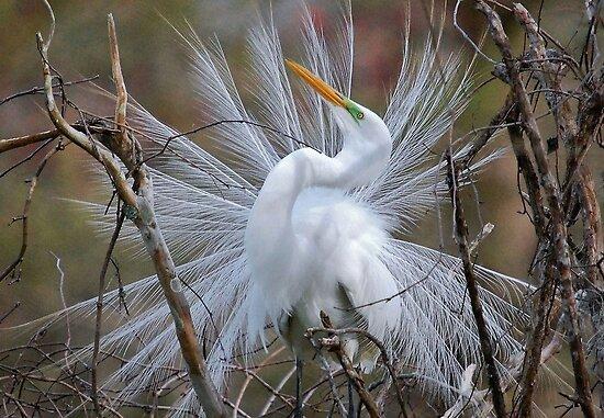 Great White Egret Breeding Plumage by Kathy Baccari