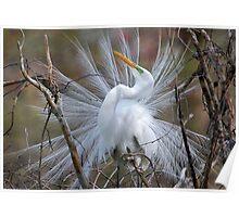 Great White Egret Breeding Plumage Poster