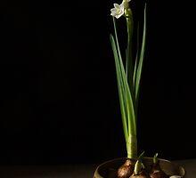 Narcissus Bulbs by Lynn Gedeon