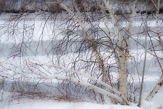 Birch in Winter by Lynn Wiles