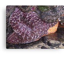 Seascapes: Starfish Canvas Print