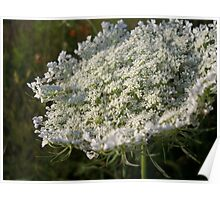 queen annes lace Poster
