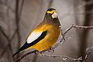 Evening Grosbeak by Michael Cummings