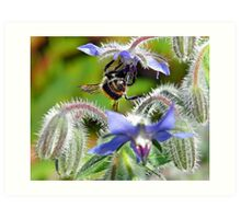 Borage & Bee Art Print
