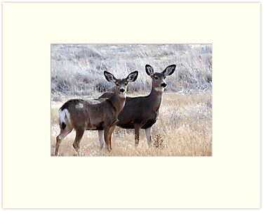 Mule Deer Doe's by SB  Sullivan