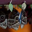 Blue Morpho - (Morpho peleides)  Beginnings by Robin Webster