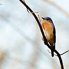 Blue bird by vasu