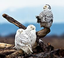 Snowy Owl Family by Jim Stiles