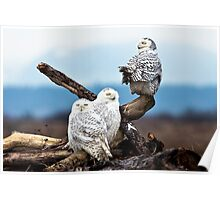 Snowy Owl Family Poster