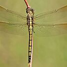 Dragonfly by Peter Bodiam