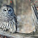 Barred owl for Jean by cherylc1