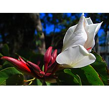 Bauhinia Flower and Buds Photographic Print