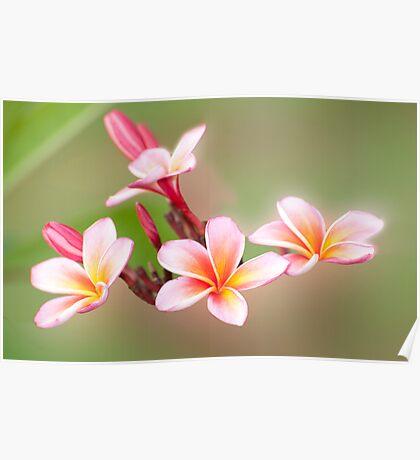 Tropical Pink - frangapani flower Poster