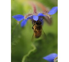 Bee on Blue Flower Photographic Print