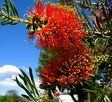 Bottlebrush - Callistemon by Geoffrey Higges