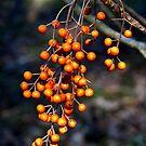 Orange Berries by Geoffrey Higges