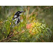 Sitting on the Grevillea Photographic Print