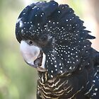 Black Cockatoo by tonysphotospot