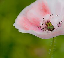 Delicate Poppy in Pink  by DIANE  FIFIELD