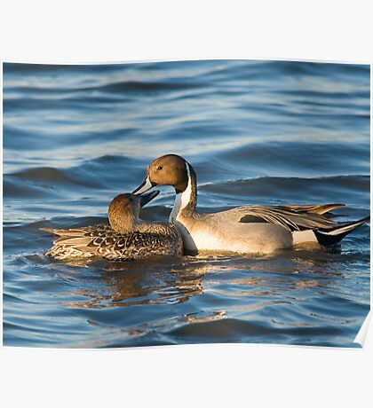 Pintails Preening Poster