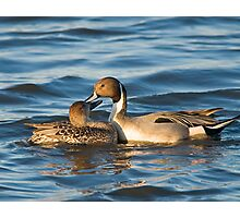 Pintails Preening Photographic Print