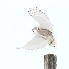 Startled - Snowy Owl by Jim Cumming