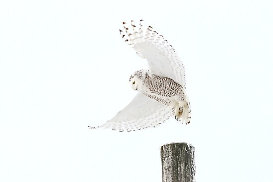 Startled - Snowy Owl by Jim Cumming