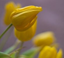 Soft Tulips by Karen Havenaar