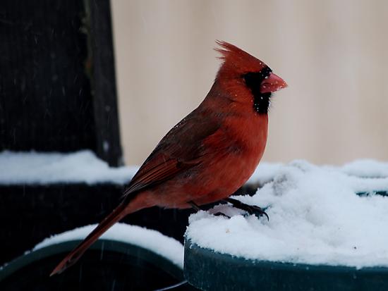 Cardinal Awaits by Barry Doherty
