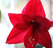 Red Amaryllis by Tony Steel