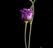 Single Lisianthus by Fe Messenger