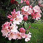 Rhododendron Tour Three by Alice Schuerman