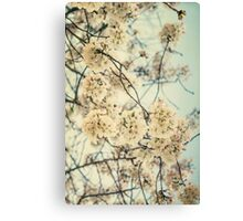 Sakura -- Spring Botanical, Vintage Cherry Blossoms Canvas Print