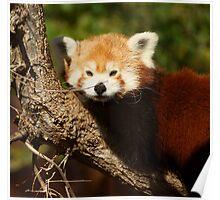 Red Pan Fox Poster