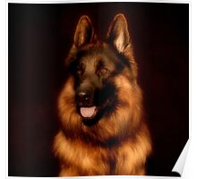 German Shepherd Portrait Poster