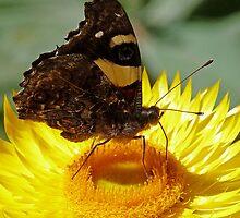 Butterfly on Australian Daisy by Margaret Saheed