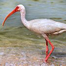 The White Ibis by Euge  Sabo