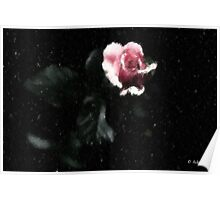 Pink Winter Rose Poster