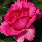 Dark Pink Rose by Geoffrey Higges