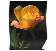 Apricot Gold Rose Poster