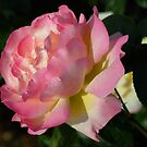 Pink Rose by Geoffrey Higges