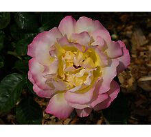 Multi-coloured Rose Photographic Print