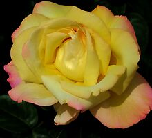Deep Yellow Rose by Geoffrey Higges