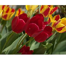 Red tulip imperfection Photographic Print