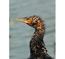Old Great Cormorant Photographic Print