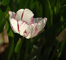Isolated white tulip by Amara Paul