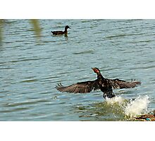 Old Great Cormorant splashing down Photographic Print