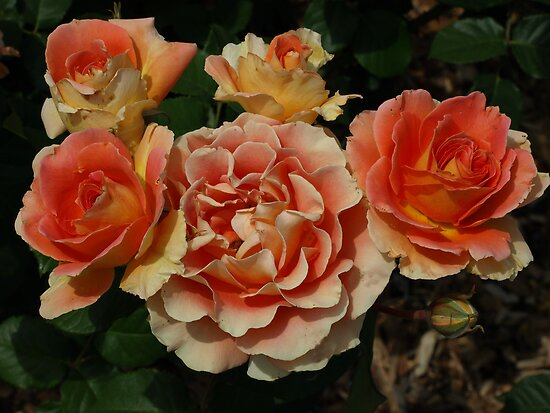 Apricot Roses by Geoffrey Higges