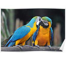 Macaws - Singapore (3) Poster