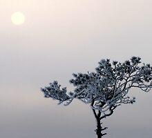 31.1.2012: Pine Tree and Winter Sun by Petri Volanen